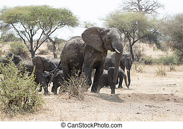 Wild African elephant with its children - A wild African...