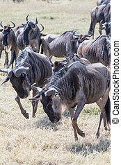 Wildebeests running and fighting - Wildebeest herd running...