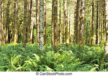 Red alders (Alnus rubra) and ferns in the Quinault temperate...