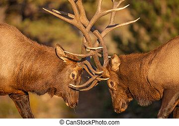 Bull Elk Fighting - a pair of bull elk fight for dominance...