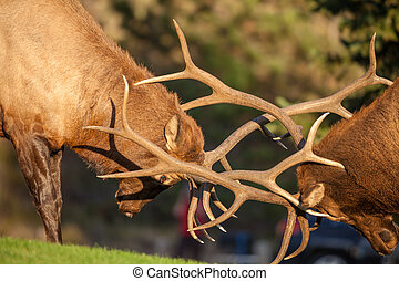 Bull Elk Fighting - a pair of bull elk fight for dominance...