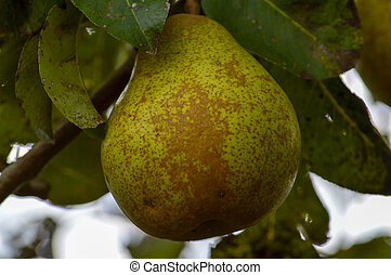 Pear hanging in tree