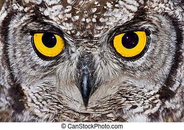 Spotted Eagle Owl - African Spotted Eagle Owl with large...