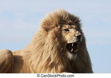 blanco, león, Se enredar