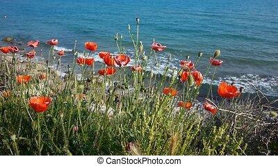 Poppy Flowers At Sea Coastline