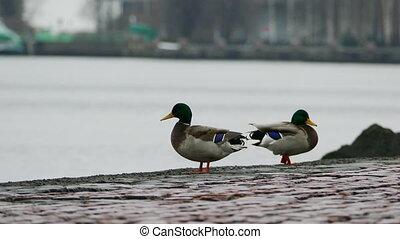Two Ducks At Lake Embankment