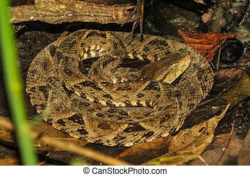 Bothrops asper snake in tropical rain forest - It is...
