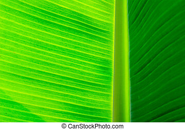 Banana leaves background, abstract background of banana...