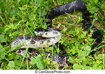 Rat Snake Elaphe obsoleta - Rat Snake on a summer day at...