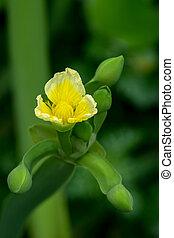 Limnocharis flava, West Indies