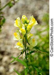 Toadflax, Linaria vulgaris flower - Toadflax, Linaria...