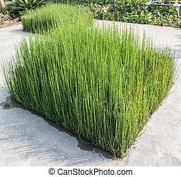 High green grass Sedge