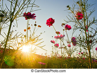 cosmos field with sunbeam