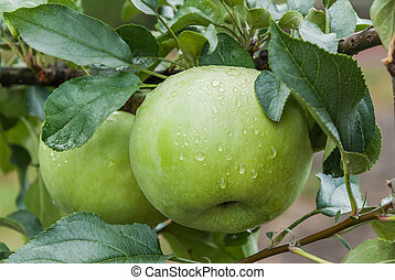 Ripe green apples on a branch with raindrops. Selective...