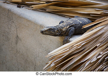 Iguana living in the roof hunting Puerto Escondido Mexico -...