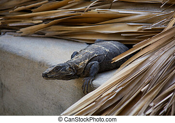 Iguana living in the roof preparing to jump Puerto Escondido...