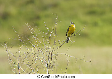 singing yellow wagtail on dry bush