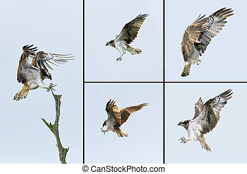 Birds of Prey - Osprey - The Osprey Pandion haliactus is...