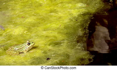 Pond Frog Jump K - Common frog, sitting in garden pond edge...