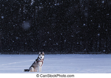 Siberian Husky sitting in the middle of the field in a...