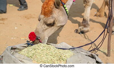 Camel eat - Decorated camel eat chopped straw
