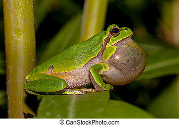 Croaking European tree frog Hyla arborea in a tree
