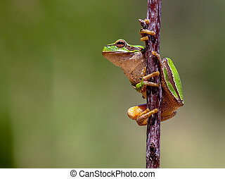 Friendly European tree frog - European tree frog Hyla...