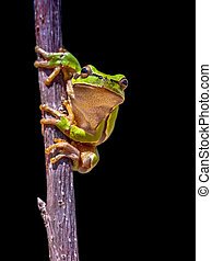 climbing European tree frog on black background - Climbing...