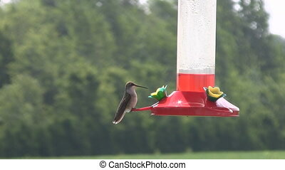 Hummingbird Scared by Ant - A Hummingbird is scared by an...