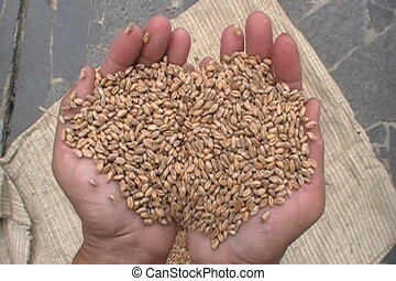 seed - An image with corn in the palm