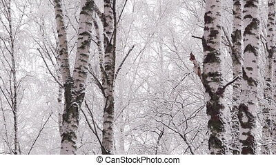 Panning snowy winter forest - Panoramic shot of trunks of...