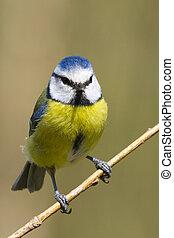 Blue Tit  (Parus caeruleus) perched on a branch