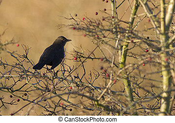 Blackbird perched in a tree