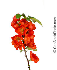 Blossoming quince branch