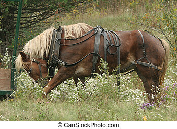 In the Meadow - A mennonites work horse having a rest after...