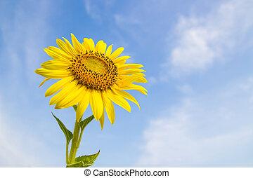 Sun Flower field, Saraburi, Thailand