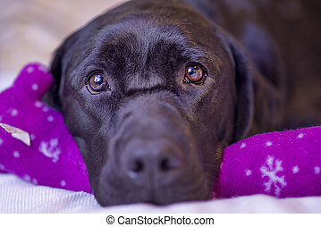 Labrador Retriever Resting With Her Christmas Toy -...