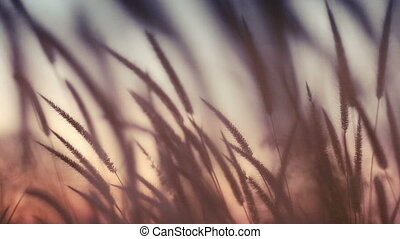close-up field of feather grass at sunset vintage color,...