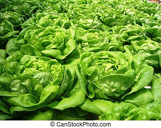 lettuce - Fresh lettuce in the farm