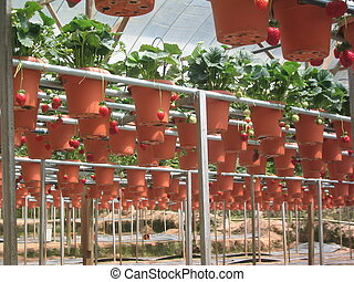 strawberries - Cultivation of strawberries