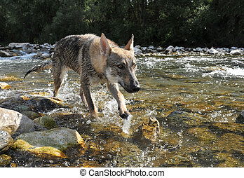 wolf in a river
