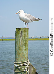Seagull on a Piling - Seagulls on a Piling in Virginia