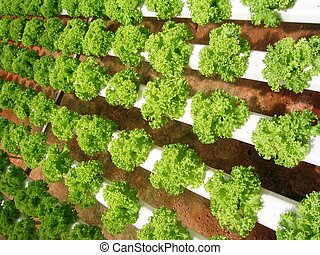 lettuces  - Hydroponically grown lettuces