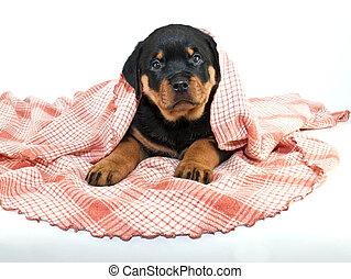 Peek a Boo! Puppy - Silly little Rottweiler puppy peeking...