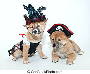Pirate Puppies - Two silly Shiba Inu puppies making silly...