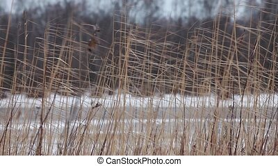 Dry reeds in winter - Dry reeds in the wind in winter