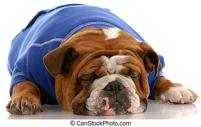 english bulldog wearing blue sweater sleeping on white background