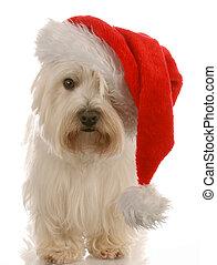 west highland white terrier wearing cute santa hat on white...