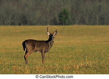 Whitetail Buck - a whitetail buck on alert in a lush meadow