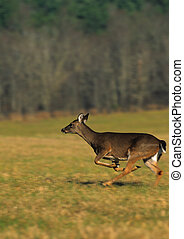 Whitetail Doe Running - a whitetail doe running across a...